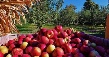 Meadowbrook Apples 1 (Medium)
