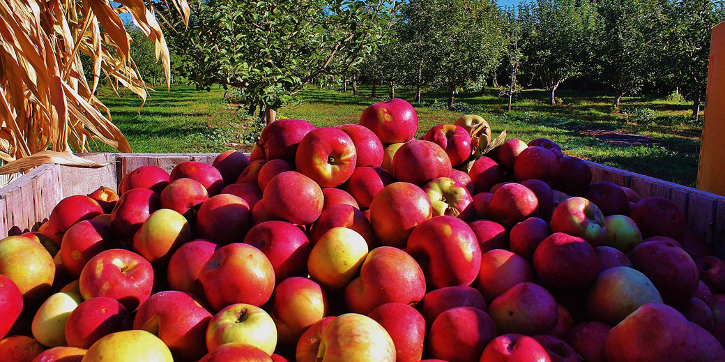 Meadowbrook-Apples-11